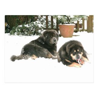 Carte Postale Mastiff tibétain Caspar et Jampo