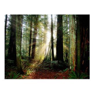 Carte Postale Matin de séquoia