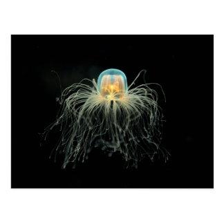 Carte Postale Méduses (nutricula de turritopsis)