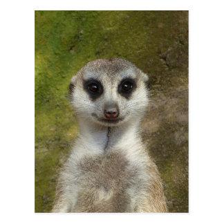 Carte Postale Meerkat