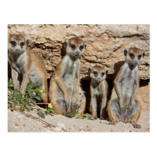 Carte Postale meerkat ou suricate, suricatta Kalahari de