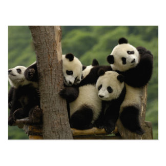 Carte Postale Melanoleuca d'Ailuropoda de bébés de panda géant)