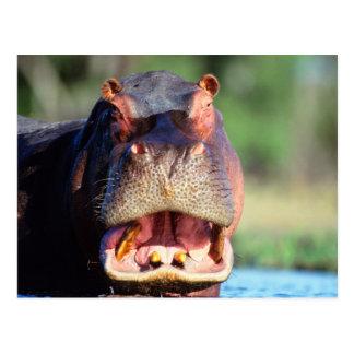 Carte Postale Menace d'hippopotame (hippopotame Amphibius)