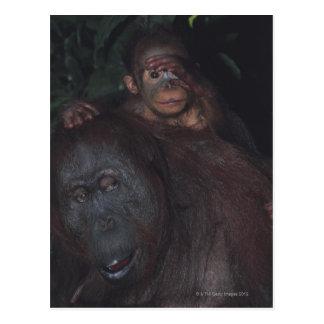 Carte Postale Mère d'orang-outan avec le bébé