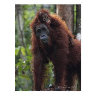 Carte Postale Mère d'orang-outan avec le bébé 2