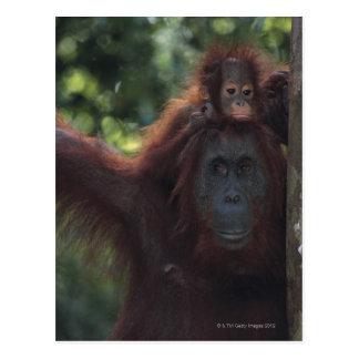 Carte Postale Mère d'orang-outan avec le bébé 5