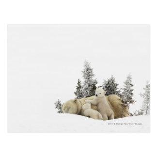 Carte Postale Mère d'ours blanc et son CUB en parc de Wapusk