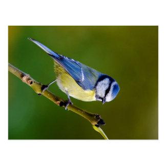 Carte Postale Mésange bleue en automne
