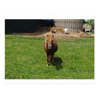 Carte Postale Mini chevaux