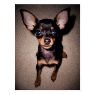 Carte Postale mini pinscher.
