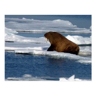 Carte Postale Morse dans l'océan arctique