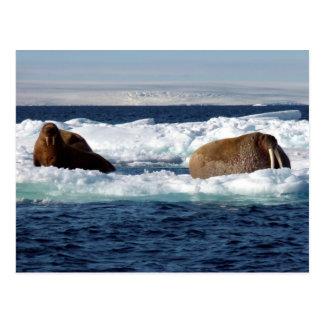 Carte Postale Morses dans Storoya, le Svalbard