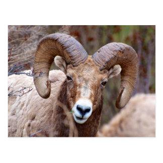 Carte Postale Mouflons d'Amérique de montagne rocheuse