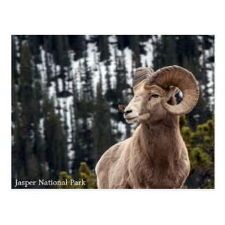 Carte Postale Mouflons d'Amérique - parc national de jaspe