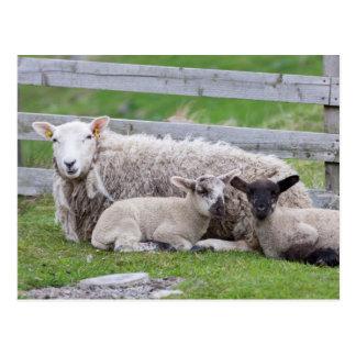 Carte Postale Moutons 3 de Shetland