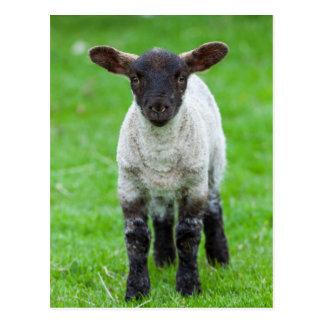 Carte Postale Moutons 4 de Shetland