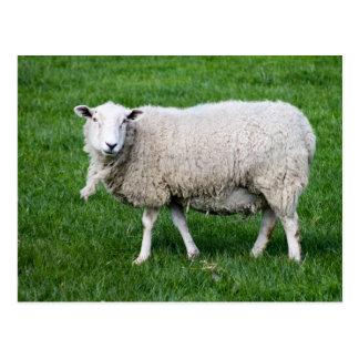 Carte Postale Moutons adultes