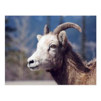Carte Postale Moutons de Big Horn de montagne rocheuse
