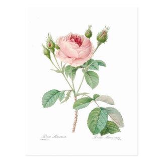 Carte Postale Muscosa de Rosa