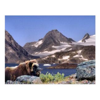 Carte Postale Muskus au Groenland