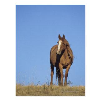 Carte Postale Mustang espagnol (caballus d'Equus), cheval