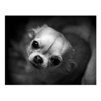 Carte postale N&B chien, chihuahua, regard intense