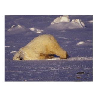 Carte Postale Na, Canada, Manitoba, Churchill, ours blanc
