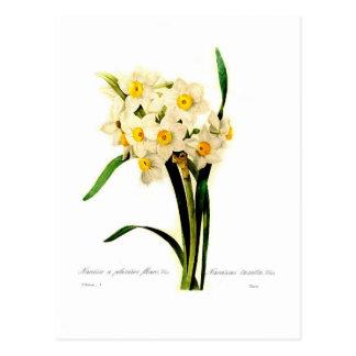 Carte Postale Narcisse tazetta.var