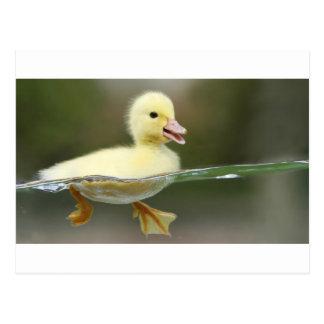 Carte Postale natation de canard de bébé mignonne