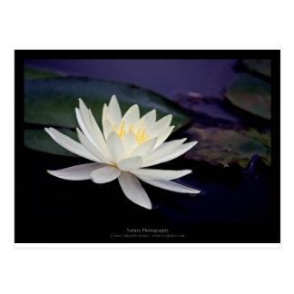 Carte Postale Nénuphar de blanc de la fleur 039