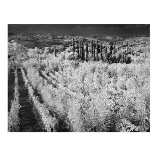 Carte Postale Noir et blanc des vignobles, Montepulciano, Italie
