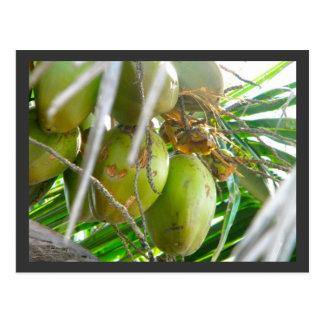 Carte Postale Noix de coco sur Palmtree