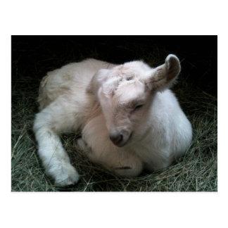Carte postale nouveau-née d'enfant de chèvre