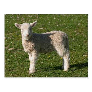 Carte Postale Nouvel agneau, près de Dunedin, île du sud,