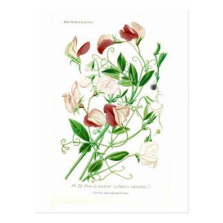 Carte Postale Odoratus de Lathyrus