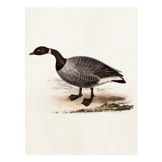 Carte Postale Oie de Brent vintage de 1800s - rétro modèle