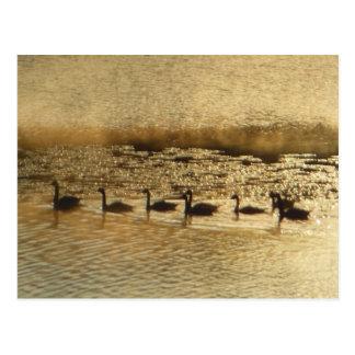 Carte Postale Oies sur l'étang d'or