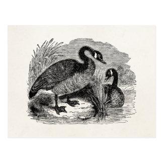 Carte Postale Oiseau canadien vintage d'oie - modèle d'oiseaux