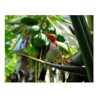 Carte Postale Oiseau cardinal d'Hawaï des noix de coco de