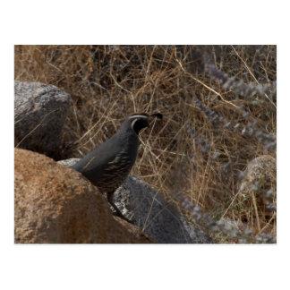Carte Postale Oiseau de cailles dans le désert