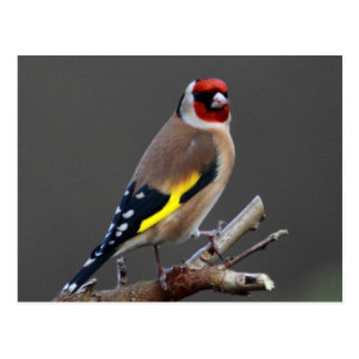Carte Postale Oiseau de chardonneret