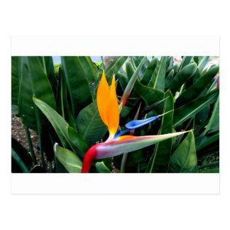Carte Postale Oiseau de fleur de paradis - la Californie