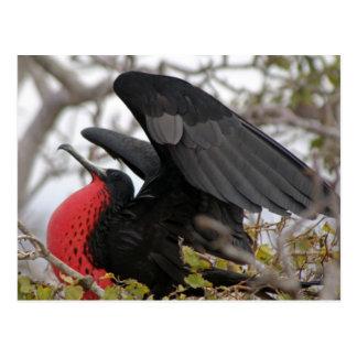 Carte Postale Oiseau de frégate magnifique