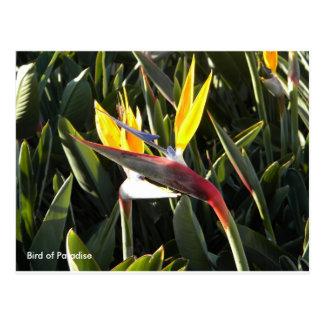 Carte postale, oiseau du paradis carte postale