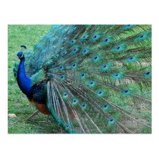 Carte Postale Oiseau paradisiaque de paon gracieux