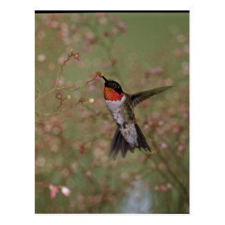 Carte Postale Oiseau Throated rouge de ronflement