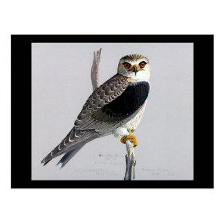 Carte Postale Oiseaux Art-Abyssiniens 17 de Chicago de Carte-Cru