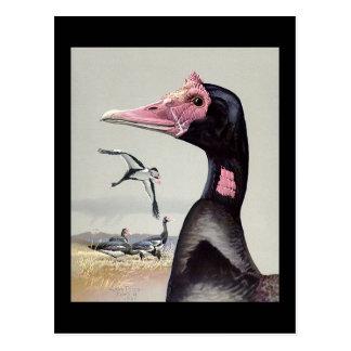 Carte Postale Oiseaux Art-Abyssiniens 20 de Chicago de Carte-Cru