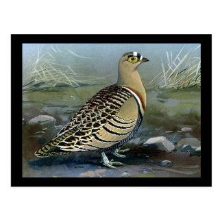 Carte Postale Oiseaux Art-Abyssiniens 5 de Chicago de Carte-Cru