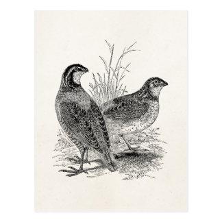 Carte Postale Oiseaux vintages de cailles - rétro gibier à